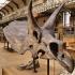 Triceratops image