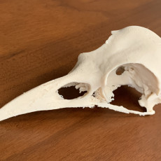 Picture of print of American Crow Skull