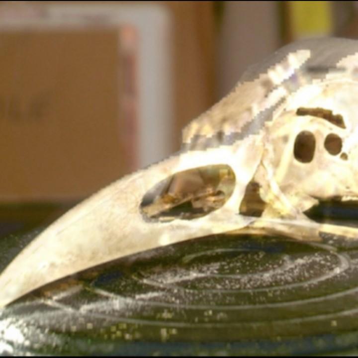 American Crow Skull