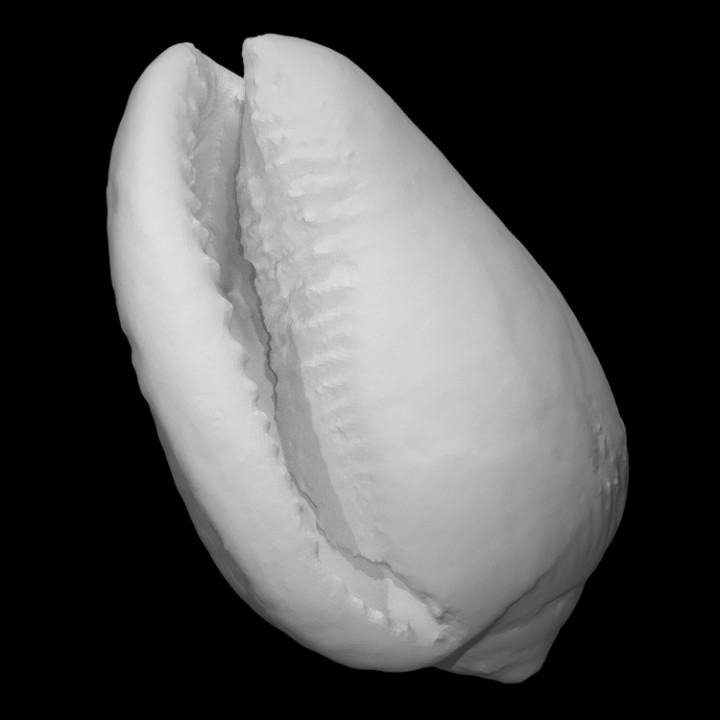 Cowrie shell