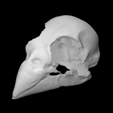 Female cardinal skull