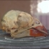 Female cardinal skull image