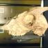 Pygmy goat skull image