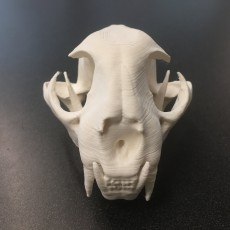 Picture of print of Bobcat Mandible