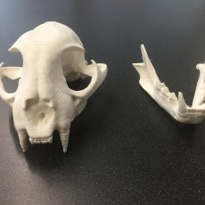 Picture of print of Bobcat Skull