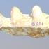 USNM V 10818 Cuvieronius molar image