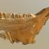 Equus lambei mandible image