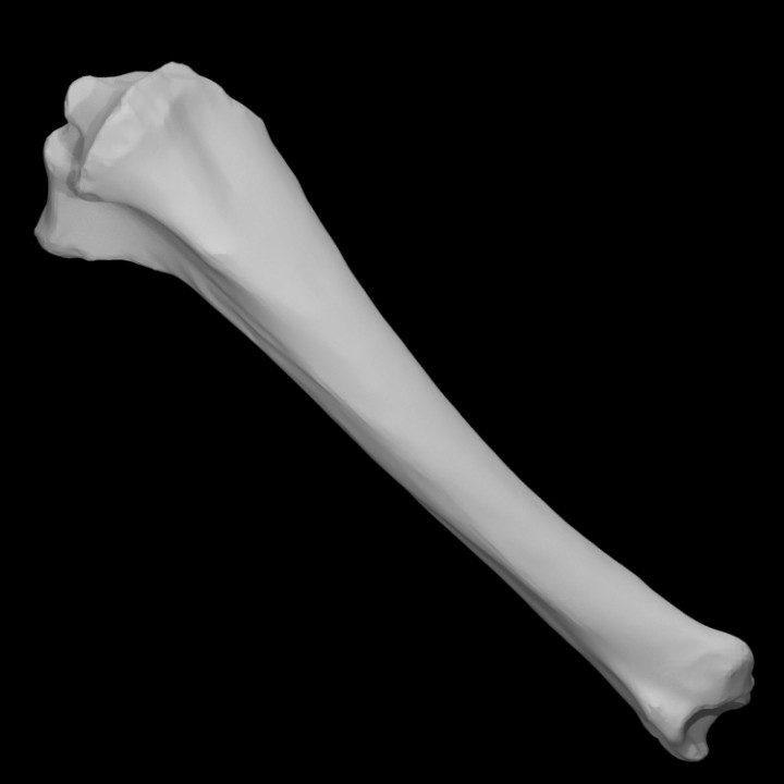 Equus Sp Tibia Left