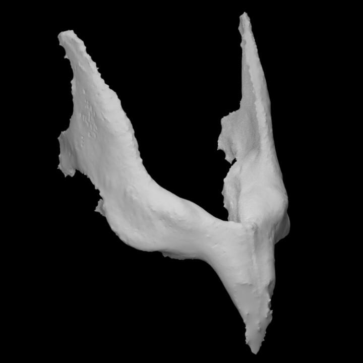 Guinea Pig Mandible (female)