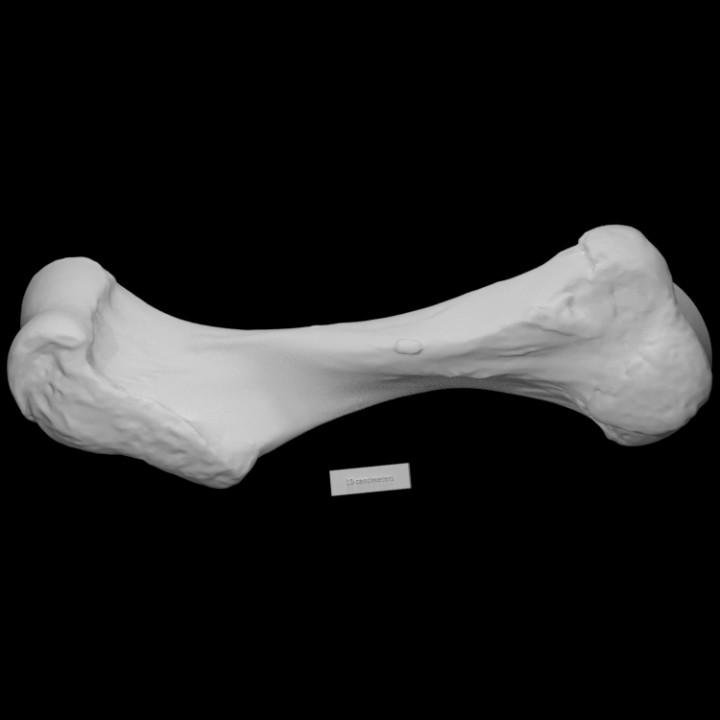 Mastodon Humerus Left