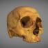 Human skull image