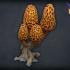 Morel mushroom tree image