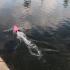 Shark Boat Rc image